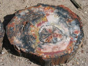 Petrified Tree in Petrified Forest National Park, USA. Image taken by Daniel Schwen on Sept 4th, 2004.
